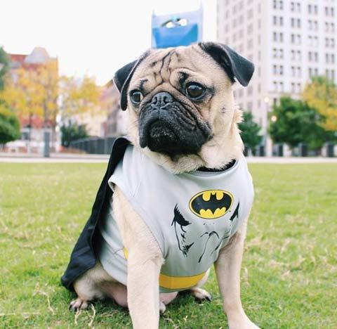 El carlino Doug The Pug