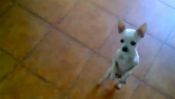 Chihuaha Dancing