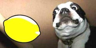 Perros + Limones: Las reacciones más graciosas