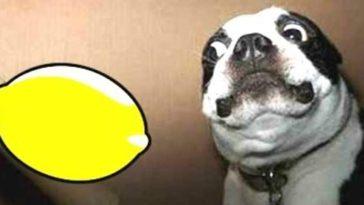Perros y limones