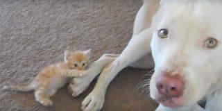 Mira a este entrañable pitbull jugando con un pequeño gatito