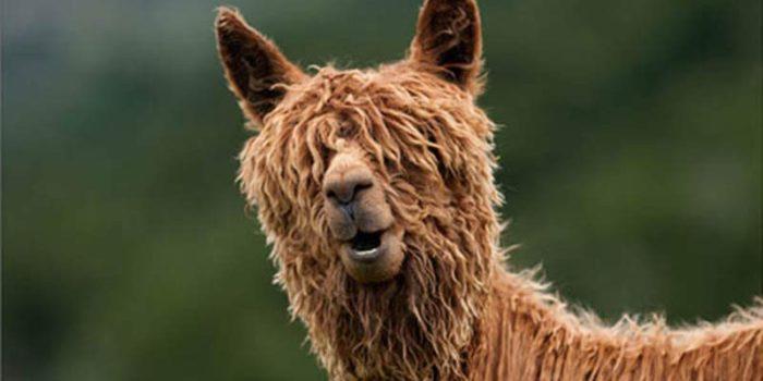 20 alpacas con pelazo que serían la envidia de la mismísima Beyoncé