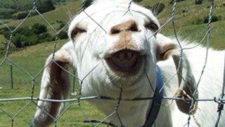 Vídeos de cabras