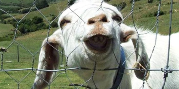 Este vídeo de cabras haciendo el idiota te alegrará el día