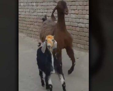 cabras con flow