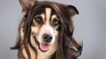 Perros con peluca