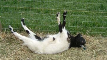 Cabras que se desmayan